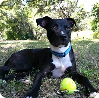 Labrador Retriever Mix Dog for adoption in Austin, Texas - Arwen