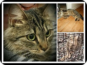 Maine Coon Cat for adoption in San Fernando Valley, California - Berry