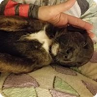 Adopt A Pet :: Marilyn Monroe - Garden City, MI