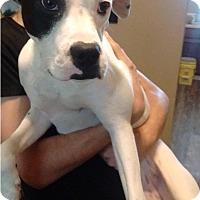 Adopt A Pet :: Delilah - St. Charles, MO