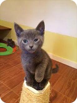 Domestic Shorthair Kitten for adoption in Sherwood, Oregon - Expression K4 Aka Charcoal