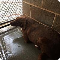 Adopt A Pet :: Rocket - Clarkesville, GA
