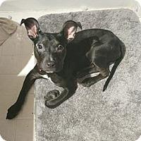 Adopt A Pet :: Sheeba - Grand Rapids, MI
