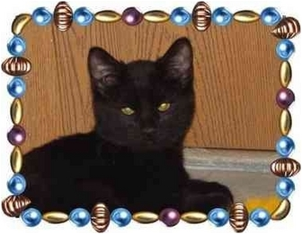 Domestic Shorthair Kitten for adoption in KANSAS, Missouri - Ritchie