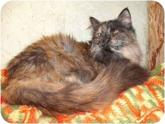 Domestic Longhair Cat for adoption in Morris, Pennsylvania - TIA