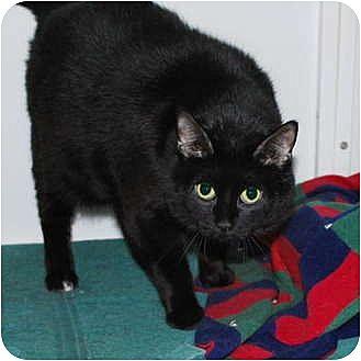 Domestic Mediumhair Cat for adoption in Lincoln, Nebraska - Digit