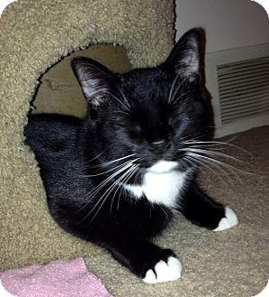 Domestic Shorthair Cat for adoption in Troy, Michigan - Zephyr