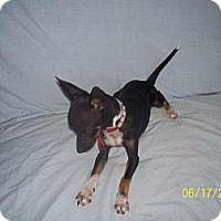 Adopt A Pet :: Pebbles - Andrews, TX