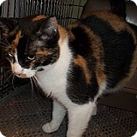 Adopt A Pet :: Patches - Acme, PA