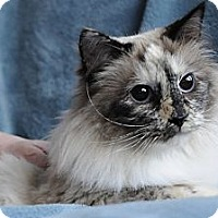Ragdoll Cat for adoption in Columbus, Ohio - Bella Boo Boo