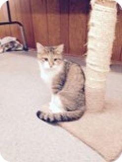 Domestic Shorthair Cat for adoption in Randleman, North Carolina - Pumkin