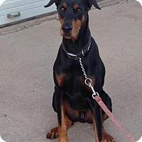 Adopt A Pet :: Bevo - Houston, TX