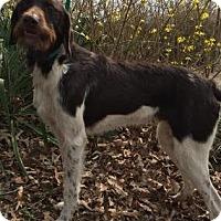 Adopt A Pet :: Skeeter - Little Rock, AR