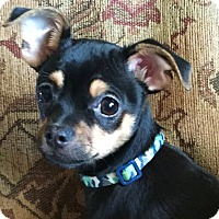 Adopt A Pet :: WHITNEY - tiny - Chicago, IL