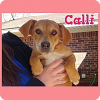 Adopt A Pet :: Calli in CT - Manchester, CT