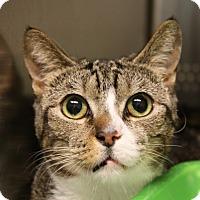 Adopt A Pet :: Gravy - Sarasota, FL