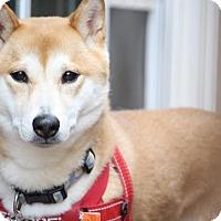 Adopt A Pet :: Rai - Manassas, VA