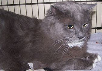 Domestic Longhair Cat for adoption in Sistersville, West Virginia - Sokrates