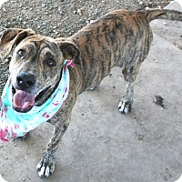 Plott Hound Mix Puppy for adoption in Pilot Point, Texas - HERCULES