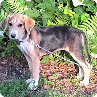Adopt A Pet :: CLOVER - Hartford, CT