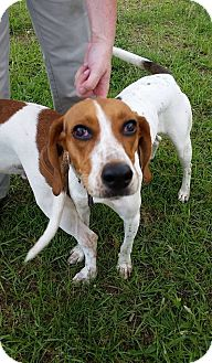 Hound (Unknown Type) Mix Dog for adoption in middle island, New York - CAMELIA