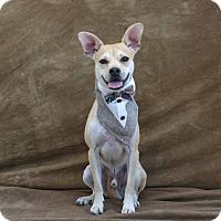 Adopt A Pet :: Kuma - Las Vegas, NV