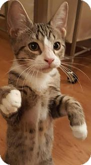 Domestic Mediumhair Kitten for adoption in Jacksonville, Florida - Viper