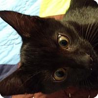 Domestic Shorthair Kitten for adoption in Ortonville, Michigan - Leonardo