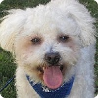 Bichon Frise Mix Dog for adoption in La Costa, California - Sparky