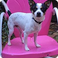 Rat Terrier/Chihuahua Mix Dog for adoption in Dalton, Georgia - Jingles