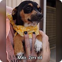 Chihuahua/Dachshund Mix Dog for adoption in Boerne, Texas - Rico