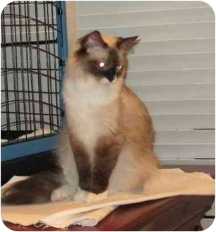 Ragdoll Cat for adoption in Chattanooga, Tennessee - Cheeks