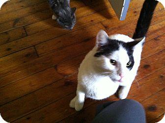 Domestic Shorthair Cat for adoption in East McKeesport, Pennsylvania - Lucky