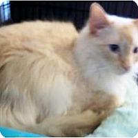 Adopt A Pet :: Tig - Dallas, TX
