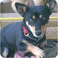Adopt A Pet :: Victoria - dewey, AZ