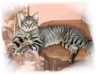 Domestic Shorthair Cat for adoption in Montgomery, Illinois - Dorsey