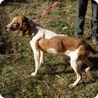 Adopt A Pet :: Cheddar - Dumfries, VA