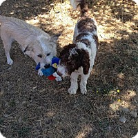 Adopt A Pet :: Cooper - Surrey, BC