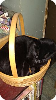 Domestic Shorthair Cat for adoption in Benton, Pennsylvania - Paulie