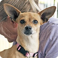 Chihuahua Mix Dog for adoption in San Diego, California - Caterina