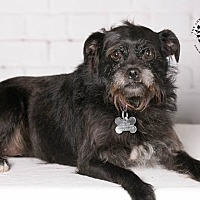 Terrier (Unknown Type, Small)/Fox Terrier (Wirehaired) Mix Dog for adoption in Inglewood, California - Monkey