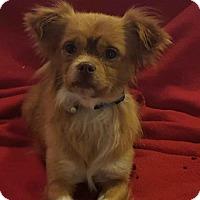 Adopt A Pet :: Simon - Vacaville, CA