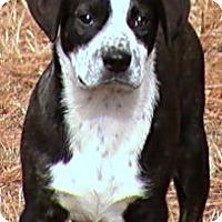 Terrier (Unknown Type, Medium) Mix Dog for adoption in Sunbury, Ohio - Napoleon
