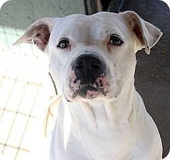 American Bulldog Mix Dog for adoption in Fort Madison, Iowa - Amari