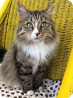 Domestic Longhair Cat for adoption in Austintown, Ohio - Gabby