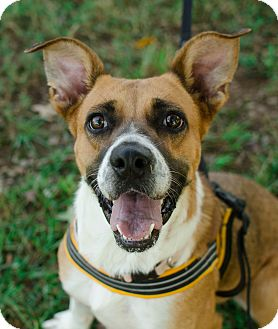 Shepherd (Unknown Type) Mix Dog for adoption in Greenwood, South Carolina - Mitzi