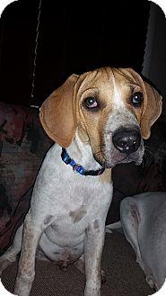 Treeing Walker Coonhound/Australian Shepherd Mix Puppy for adoption in Oak Lawn, Illinois - Pistachio