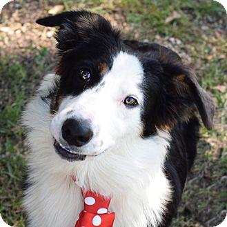 Border Collie/Australian Shepherd Mix Dog for adoption in Colorado Springs, Colorado - Ace
