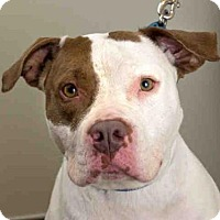 Pit Bull Terrier Mix Dog for adoption in Maumee, Ohio - BELLA