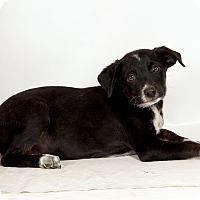 Adopt A Pet :: Harper Heeler - St. Louis, MO